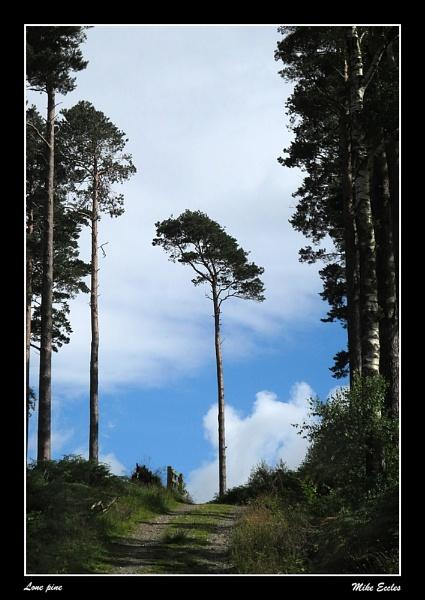 Lone pine by oldgreyheron