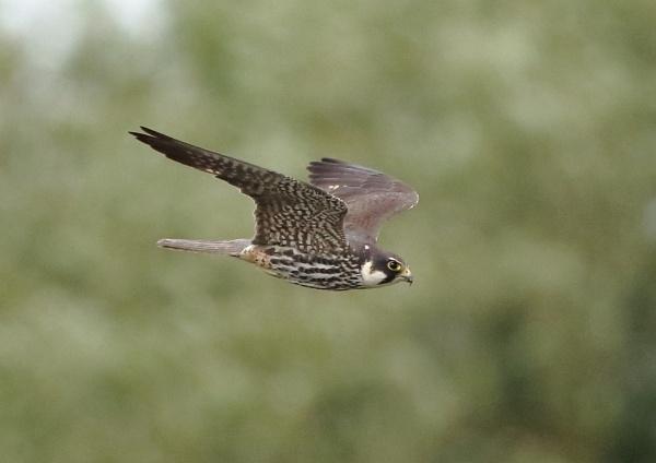 Hobby in Flight