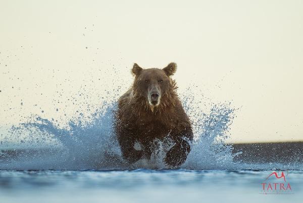 Grizzly Bear chasing a fish. Lake Clark, Alaska, USA by TatraPhotography