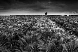 Barley Field, Kent