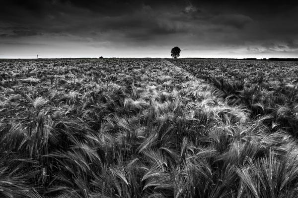 Barley Field, Kent by derekhansen