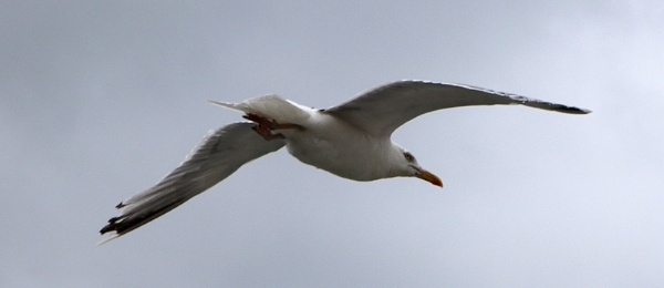Gull by mountains