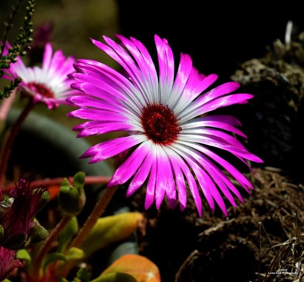 livingstone daisy by linda68