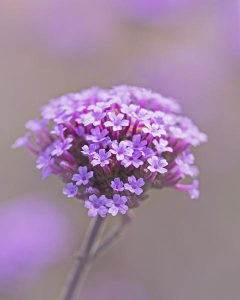 Pinks by iancrowson