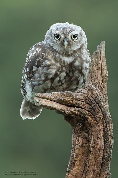 Little Owl Owlet by Louise_Morris