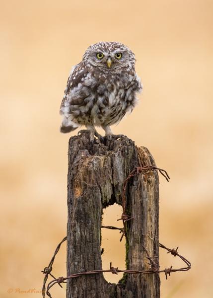 A wild and scruffy Little Owl by KPnut