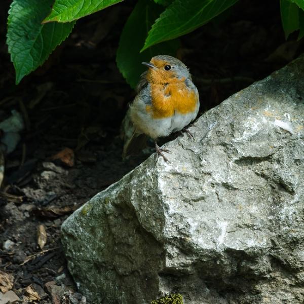 Robin by AnneB50