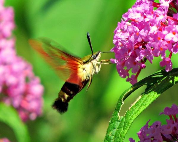 Hummingbird Moth by doerthe