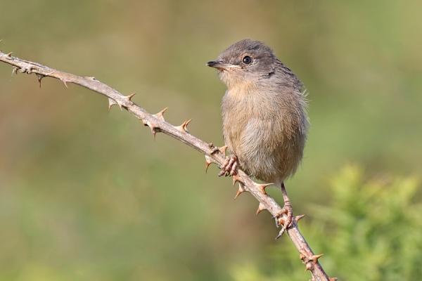 Dartford Warbler - fledgling by jm1