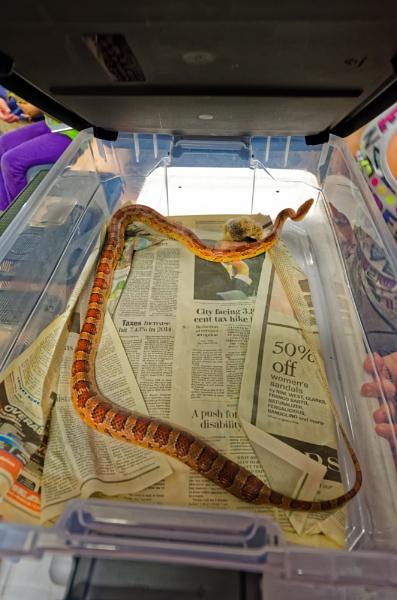 Corn Snake Shedding by Marty_Woodcock