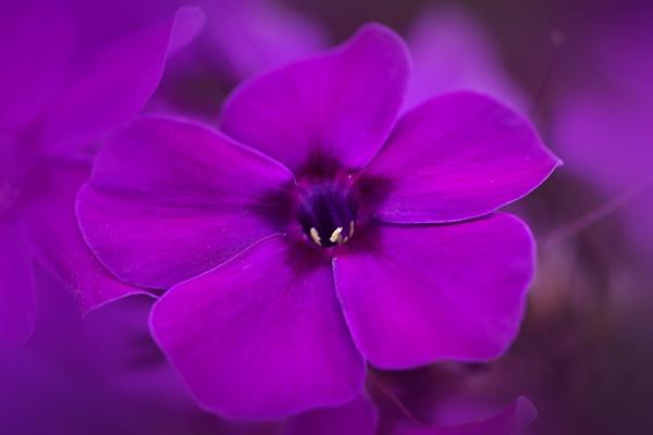 Flox Flower