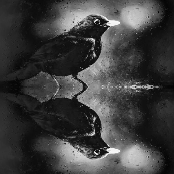Blackbird by TeresaH