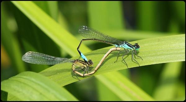 Bluetailed Damselflies mating by Glostopcat