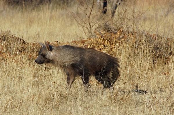 Brown Hyena by jinstone