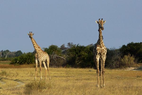 Giraffe by jinstone