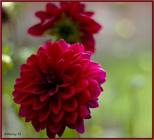 Chrysanthemum by marshfam19