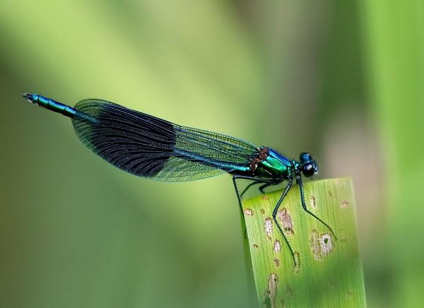 Banded Demoiselle (Calopteryx splendens) by Ray_Seagrove