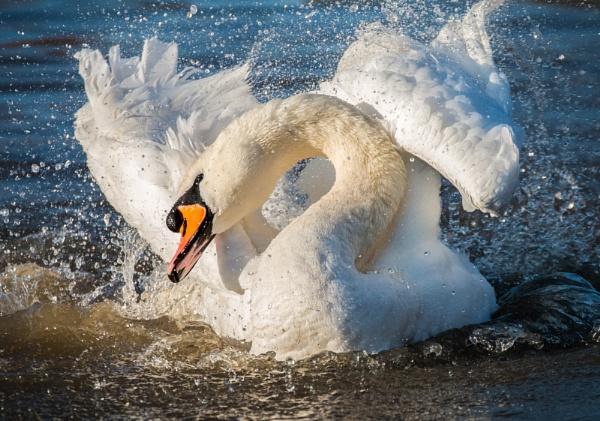 Bathing Swan by rob wilkins