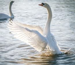 Swan Lake ;)