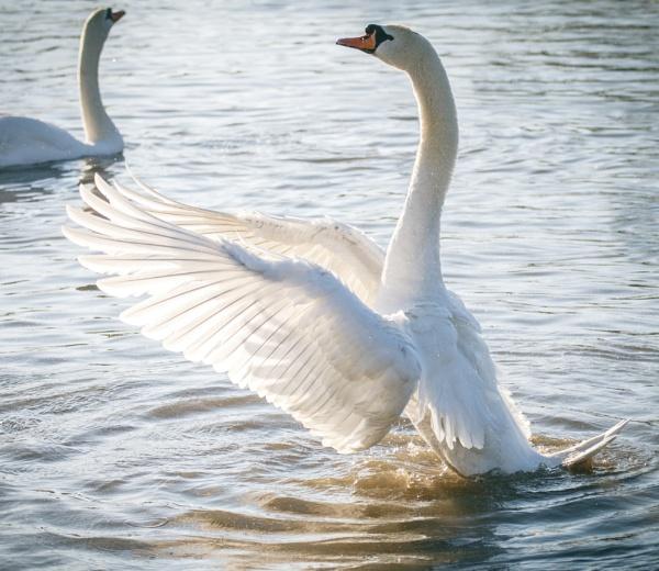 Swan Lake ;) by rob wilkins
