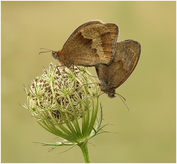 Meadow Browns - copulating pair. by BenKiteley