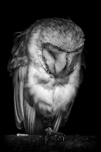 The barn owl by puma00065