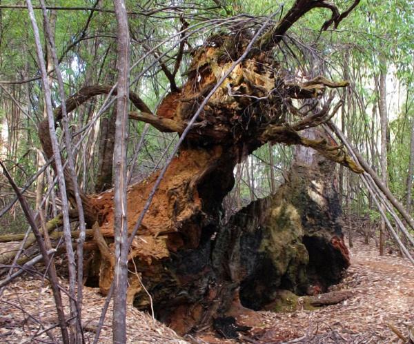 A log in the Woods at Karri Valley by Jocelia