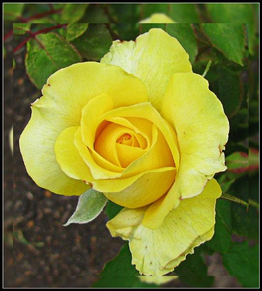 Roses by Jocelia
