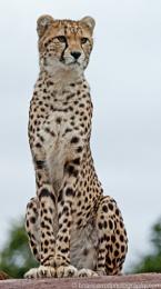 Cheetah sitting on a rock