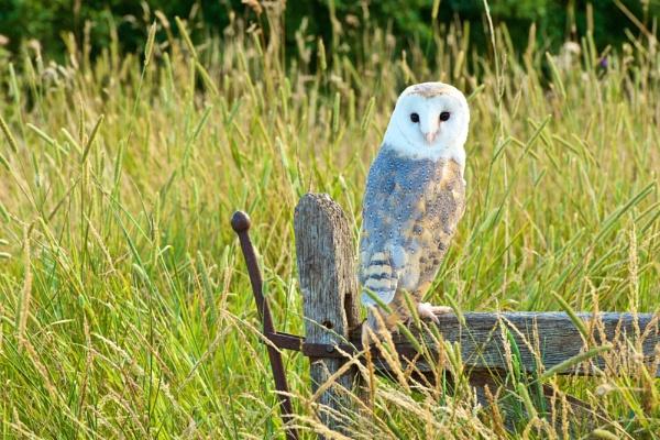 Gate Owl. by Dorset6476