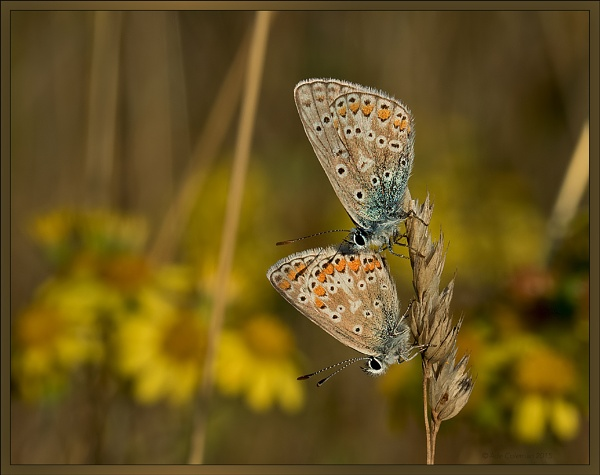 Male & Female Common Blue by ade123