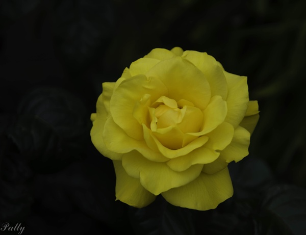 The only yellow rose this summer. by pentaxpatty
