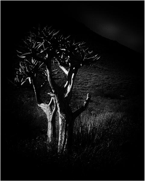 Kokerboom in moonlight by fotobee