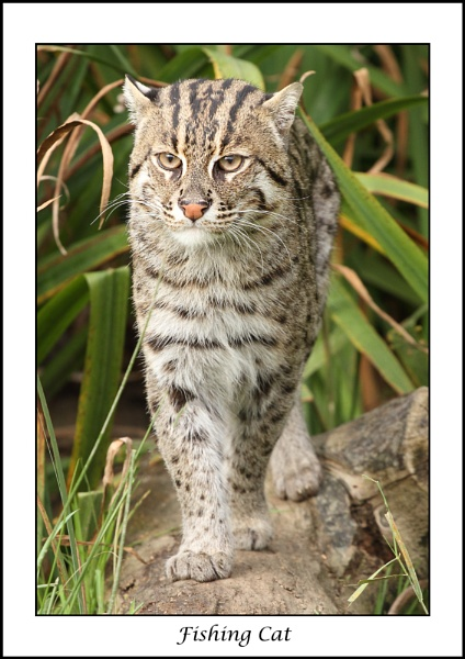 Fishing cat by rickie