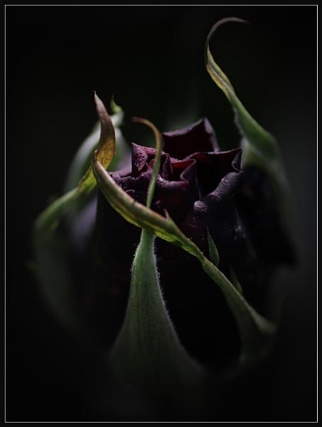 Dark Purple by Morpyre
