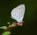 Holly Blue by matthewjf