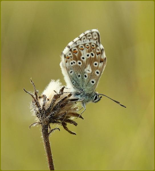 Chalkhill Blue male by Glostopcat