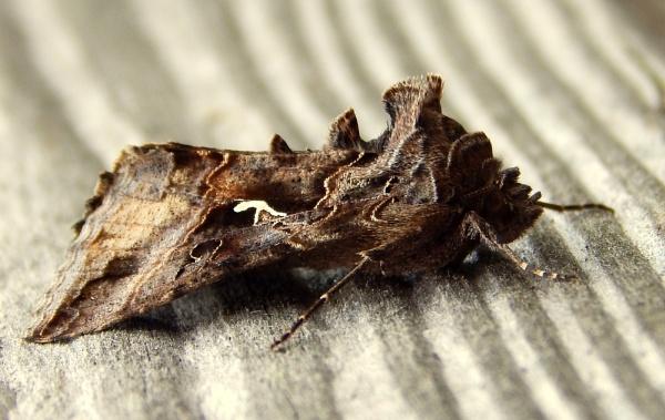 Grumpy Looking Moth by CHIPPYX1X