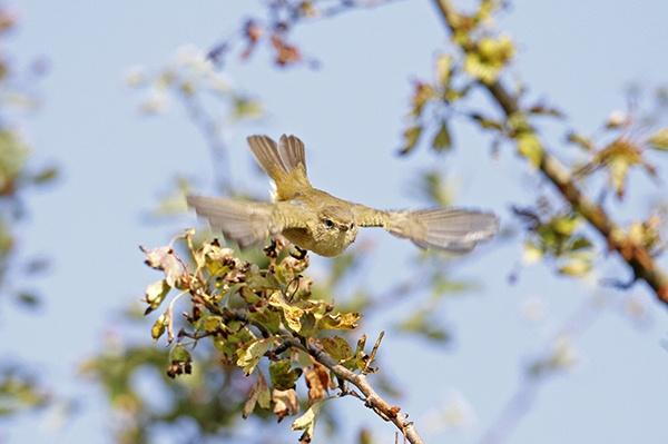 Chiffchaff in flight by shaver