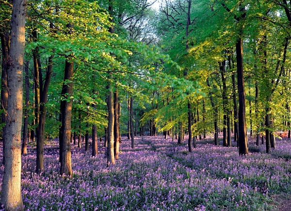 Reminder of Spring, Ashridge Ancient Forest by peterthowe
