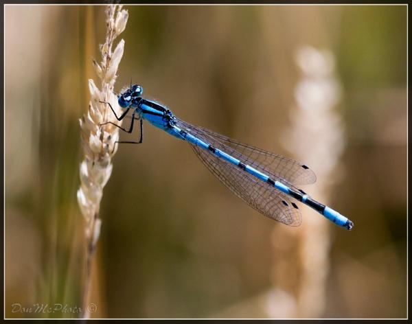 Common Blue Damselfly (Enullagma cyathigerum) (III) by DonMc