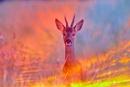 Roebuck sunset by jayjay52