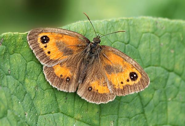Gatekeeper Butterfly by Snapitt