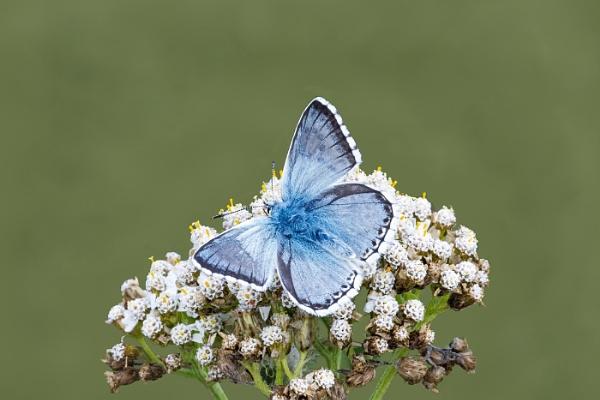 Chalkhill Blue by johncob