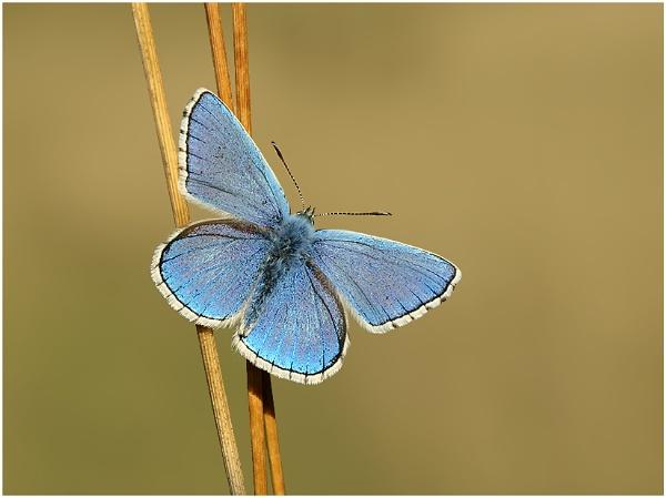 Adonis Blue by BenKiteley