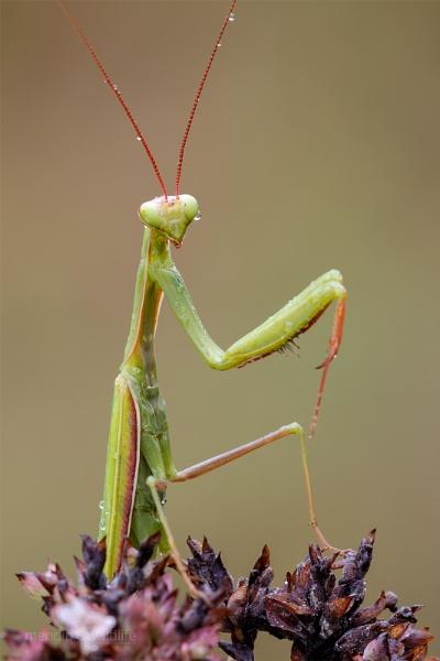 Praying Mantis - Mantis religiosa by Mendipman