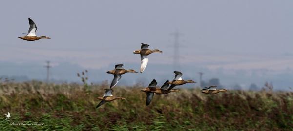 Shoveler Duck fly past by Paulspix