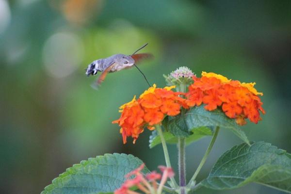 Humming bird Hawk moth by BONKERS4CONKERS