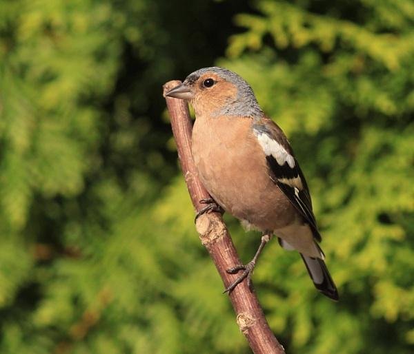 Birds in my garden. by bobpaige1