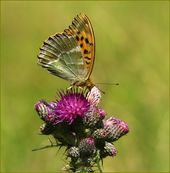 Female Silverwashed Fritillary on thistles II by Glostopcat